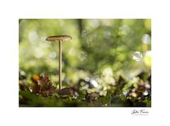 Crazy Light (g.femenias) Tags: mushroom fungi fungus leaves holmoak nature naturallight sunlight bokeh sonparric bonany petra mallorca