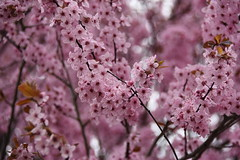 Pretty In Pink And Bursting Out! (James_Seattle) Tags: nikond7200 nikon d7200 march 2019 march2019 mountvernon washington mountvernonwashington cherrytree cherrytreephoto wallpaper desktop flowerbackground flowerwallpaper cherrytreebackground cherrytreewallpaper springbackground springwallpaper springflowerbackground springflowerwallpaper dof blossom flower macro