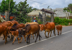Group of cow are walking on the road (phuong.sg@gmail.com) Tags: accident animal asia baby beautiful beef brown bull calf cattle close cloud countryside cow cute dalat day domestic farm farming grass green group head herd landscape livestock mammal meadow moo natural nature outdoor ox pasture road rural scenic street summer sunlight thailand thin tree vietnam village walk young