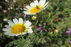 Feliz Primavera! (lameato feliz) Tags: naturaleza paisaje flor margarita insecto