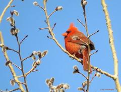 Northern Cardinal male (Lois McNaught) Tags: northerncardinalmale bird avian pussywillows spring nature wildlife hamilton ontario canada aspen
