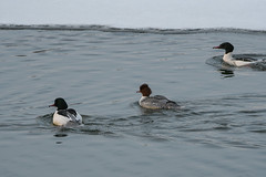 Isokoskelo (TheSaOk) Tags: bird birds isokoskelu suomi finland ice ocean meri jäässä kevät lintukuva luontokuva nature birdlife water reflection frozen