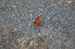 Question Mark, North Carolina, Durham County (EC Leatherberry) Tags: wildlife butterfly insect questionmarkbutterfly northcarolina durhamcounty polygoniainterrogationis