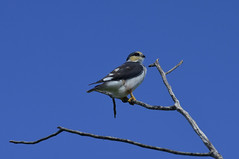 Gaviãozinho (Márcia Valle) Tags: bahia caravelas brasil brazil nature natureza márciavalle nikon d5100 tropical verão summertime ave bird gaviãozinho