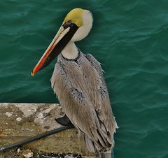 Brown Pelican 2019 (matthewbeziat) Tags: brownpelican fortpierce saintluciecounty treasurecoast floridabirds americanbirds sunshinestate florida floridawildlife