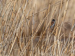 Reed Bunting (dudutrois) Tags: reedbunting oxwich