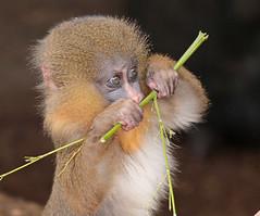 mandrill artis 094A0193 (j.a.kok) Tags: animal artis africa afrika aap mammal monkey mandril mandrillussphinx mandrill zoogdier dier primate primaat