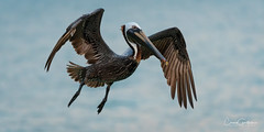 Up and at 'em! (craig goettsch - out shooting) Tags: sanibel2018 brownpelican pelican bird avian wildlife nature nikon d500