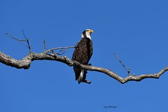 Bald Eagle-Mature_0420 (2) (Porch Dog) Tags: 2019 garywhittington nikond750 nikkor200500mm baldeagle mature wildlife nature lbl landbetweenthelakes betweentherivers outdoors