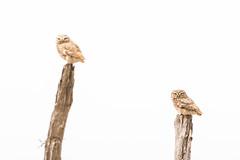 Little Owl - Steinkauz (christianhoefs) Tags: steinkauz marokko massa littleowl athenenoctua 2019 morocco afrika