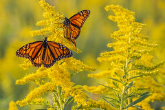 Monarch on Goldenrod (Bernie Kasper (5 million views)) Tags: art berniekasper butterfly color d600 family flower floral flowers fall goldenrod hiking indiana indianawildflowers insect insects indianabutterflies jeffersoncounty light landscape leaf leaves love madisonindiana macro nature nikon naturephotography new outdoors outdoor old outside ohioriver photography park plant plants photos raw red sigma travel trail unitedstates usa wildflower wildflowers monarchbutterfly monarch national home fun nikor