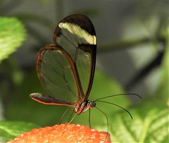 I'd never seen a Glasswing in real life, until I went to the Osher Rain Forest at the Academy of Sciences. (Ruby 2417) Tags: glasswing butterfly osher rain forest insect nature museum academy science golden gate park