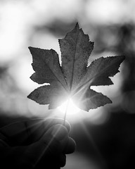 Leaf sunsets in B&W (Anthony. B) Tags: bokeh sunset blackwhite white black blackandwhite bw bnw winter leaf 50mm18g d7000 nikon