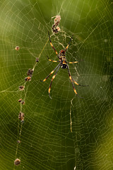 Spider, Spider at My Door (armct) Tags: nephilidae nephilaplumipes goldenorbspider orb spider golden web repair carcase 20mm queensland goldcoast immature arthropod sundaylights