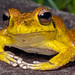 Stony Creek Frog (Litoria jungguy/wilcoxii) - male (McCall Wildlife Photography) Tags: 2019 australia d7500 eungellanationalpark january queensland wildlife wildlifephotography amphibian frog ranoidea litoria nature outside
