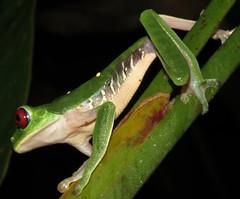 Agalychnis callidryas (Birdernaturalist) Tags: amphibian anura costarica frog herp richhoyer