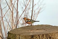 J78A0219 (M0JRA) Tags: robins birds humber ponds lakes people trees fields walks farms traylers
