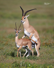 Gazelles Mating (MyKeyC) Tags: africa tanzania todd antilope fornication mating sex arusha grants gazelle
