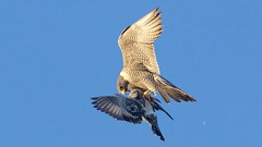 peregrine falcon (adult female black 80/green AD) w/pigeon prey (quadceratops) Tags: massachusetts nature east cambridge eastcambridgeraptors peregrine falcon predation 2019q1