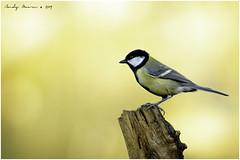 Great Tit (Parus major) (andymoore732) Tags: greattit parusmajor gardenbirds ukbirds woodland urbanandsuburban black blue yellow white green grey nikon d500 nikonafs nikkor 300mm f4e pf ed vr swm if andymoore