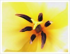 tulip (Norbert Kaiser) Tags: sachsen saxony pirna blume flower natur macro makrofotografie tulpe tulip gelb yellow spring frühling