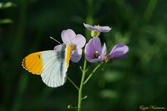 Aurore (Anthocharis cardamines (Ezzo33) Tags: aurore anthochariscardamines france gironde nouvelleaquitaine bordeaux ezzo33 nammour ezzat sony rx10m3 parc jardin papillon papillons butterfly butterflies