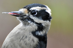 Sassy Downy (Snixy_85) Tags: woodpecker downywoodpecker dryobatespubescens