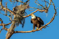 American Bald Eagle wants Attention (dbadair) Tags: outdoor nature wildlife 7dm2 canon florida bird