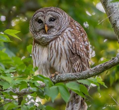 Barred Owl surrounded by greenery (Rickfans76) Tags: barredowls owlsnest owls raptors birdsofprey animalia florida dunedin nature wildlifephotography rickfanslerphotography rickfansler nikond500 nikon30028vr natgeo feathers talons bokeh trees sunset afternoon