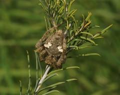 Arkyidae  Ambush-hunters,they do not build webs and have spikey legs for grabbing thier prey! (ron_n_beths pics) Tags: westernaustralia perthbushlands arachnid arkyidae