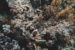 GOPV15142 (waychen_c) Tags: philippines ph visayas centralvisayas bohol provinceofbohol baclayon municipalityofbaclayon pamilacan pamilacanisland boholsea sea seascape coralreef coral fish clownfish tropicalfish cebutour2019 菲律賓 維薩亞斯 維薩亞斯群島 中維薩亞斯 保和 保和省 巴卡容 帕米拉坎 帕米拉坎島 珊瑚礁 珊瑚 熱帶魚 小丑魚 2019宿霧旅行 gopro goprohero7black tomatoclownfish 紅小丑 白條雙鋸魚 保和海