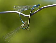 Große Pechlibelle / Blue-tailed damselfly (uwe125) Tags: tiere insekten libelle pechlibelle insect dragonfly animal macro makro bluetaileddamselfly paarungsrad macromarvels