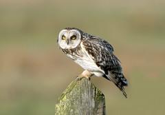 Short-eared Owl (NickWakeling) Tags: shortearedowl norfolk uptonfen canoneos7dmarkii sigma150600mmf563dgoshsmcontemporary