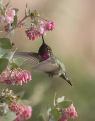 Despite the cold (woodwindfarm) Tags: hummingbird annas sundaylights
