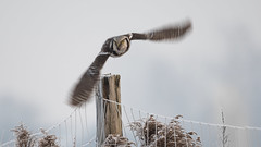 Northern hawk-owl (JS_71) Tags: nature wildlife nikon photography outdoor 500mm bird new winter see natur pose moment outside animal flickr colour poland sunshine beak feather nikkor d7500 wildbirds planet global national wing eye