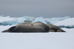 IMG_3307 (y.awanohara) Tags: adelie adeliepenguins penguins antarctica antarcticpeninsula wildlife january2019 icebergs ice icefloes crabeaterseals