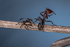 D75_7142 (crispiks) Tags: ants spider prey web death its bugs life insects macro close up nikon d750 105mm micro f28 r1c1 mount pilot national park north east victoria andersons track chiltern