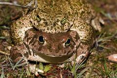 Natterjack Toad (Epidalea calamita) (Sky and Yak) Tags: amphibians amphibian frog toad spain southernspain andalusia andalucia cordoba europe nature naturalworld herpetology herp pond natterjack epidalea calamita natterjacktoad epidaleacalamita amplexus amplectant mating