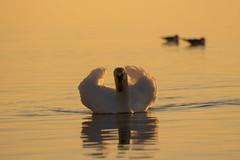 Posierender Schwan im Bodensee (schnuffelkind1) Tags: langenargen badenwürttemberg deutschland bodensee schwan wasser abendlicht canon sigma tier