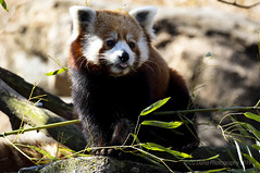 Red panda (Ailurus fulgens) (CGDana) Tags: national zoo smithsonian mammal megafauna dc canon 7d mkii