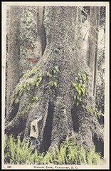 """c. 1908 The """"Gem"""" Series Postcard #100 - The Hollow Tree in Stanley Park, Vancouver, British Columbia, Canada (Treasures from the Past) Tags: postcard stanleypark 1908 hollowtree westernredcedar thegemseries"""
