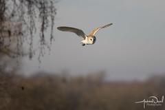 Barn Owl (AndyNeal) Tags: animal wildlife nature bird birdinflight birdofprey owl barnowl essex essexwildlifetrust naturereserve abbertonreservoir