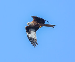 Norfolk Feb 2019 Sculthorpe Red Kite