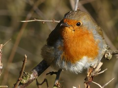 Robin (ukstormchaser (A.k.a The Bug Whisperer)) Tags: robin robins uk bird birds perched bush bushes hedgerow woods woodland milton keynes bucks buckinghamshire february