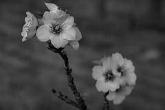 Flor de almendro en B&N (Rabadán Fotho) Tags: flor flores flowers floración flower fotografia foto flordealmendro blancoynegro bn monocromatico monocromo monocromático blackandwhite