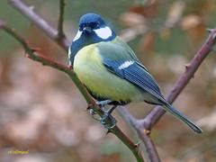 Carbonero común (Parus major) (14) (eb3alfmiguel) Tags: pájaros passeriformes insectívoros paridae carbonero común parus major