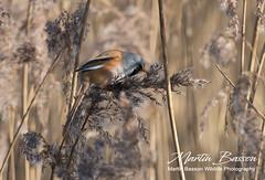 Bearded Tit, male (www.Martin Basson Wildlife Photography.co.uk) Tags: beardedtit birds norfolk reeds feeding