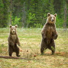 Something is happening over there..... (CecilieSonstebyPhotography) Tags: bjørn finland bears standing canon babybear animal brownbear bear motherbear forest canon5dmarkiii woods animals ef100400mmf4556lisiiusm markiii lookout bamse wild specanimal