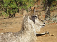 I am using beard-cream  ( Waterbuck / Waterbok ) (Pixi2011) Tags: antelope krugernationalpark southafrica africa wildlife nature animals