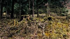 Im Bergwald bei Schönmünzach (MHikeBike) Tags: berge wasser bäume nationalpark schwarzwald nordschwarzwald murg murgtal baiersbronn huzenbach schönmünzach wandern wege ruhe berg winter schnee snow wald eis ice schönmünz kalt cold